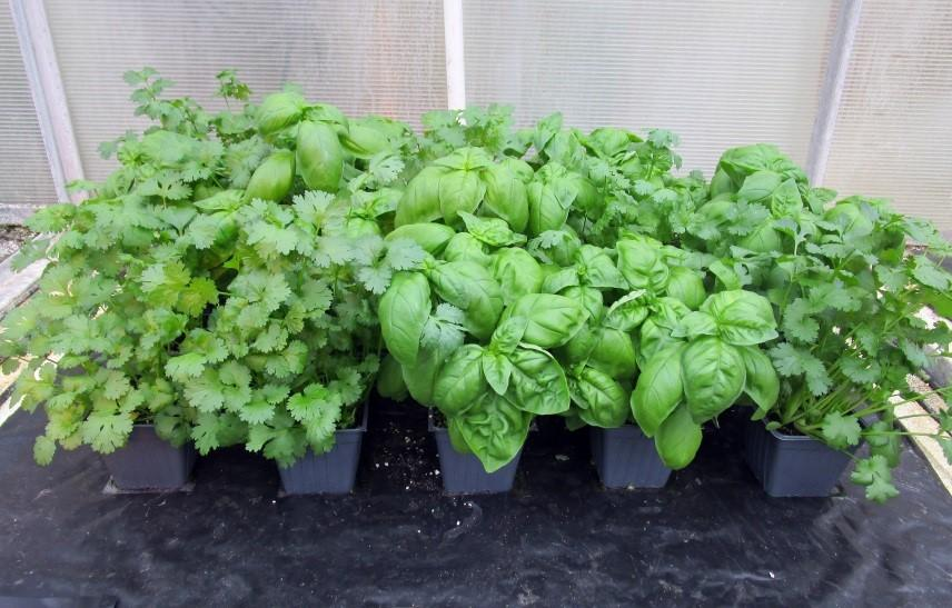 Sustainable Production of Living Organic Container-grown Herbs